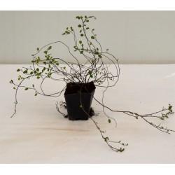 Pianta Muehlenbeckia Vaso 7cm