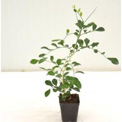 Murraya Plant