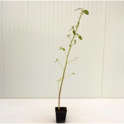 Lagunaria Patersonii Plant