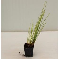 Giunco Plant