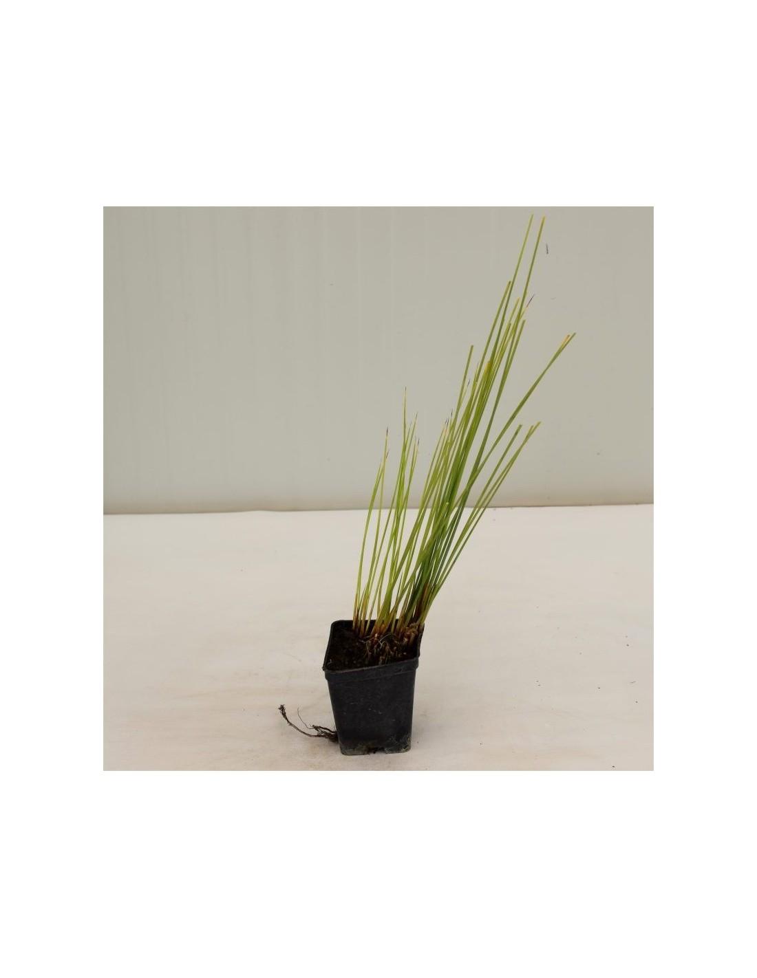 Piante Adatte Al Sole Diretto vendita pianta giunco- piante da cespuglio online   mondo piante