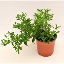 Gardenia Nana Plant