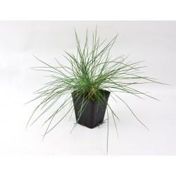 Festuca Argentea Plant