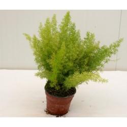 Asparagus Foxtail Plant