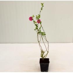 Anisodontea Lilla Plant