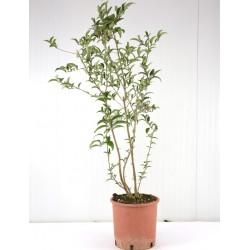 eucalipto Pianta di Eucalipto altezza 100//120 cm vaso 18cm