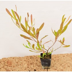 Dodonea plant