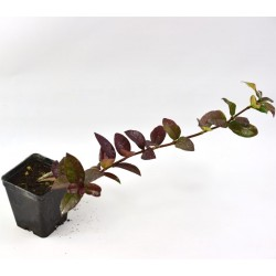 Rhyncospermum Jasminoides...