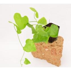 Pianta Aristolochia Gigantea