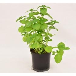 Ice Mint Plant