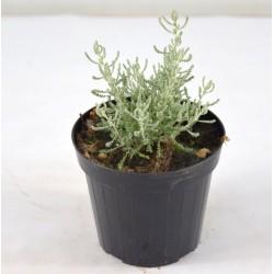 Santolina Plant