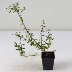 Pianta Cotoneaster...