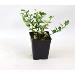 Euonymus Japonicus Bravo plant
