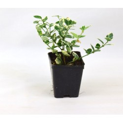 Pianta Euonymus Japonicus...