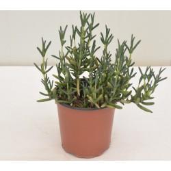 Lampranthus Plant