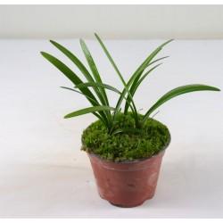 Pianta Clivia Vaso 18cm