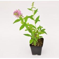 Buddleja Plant