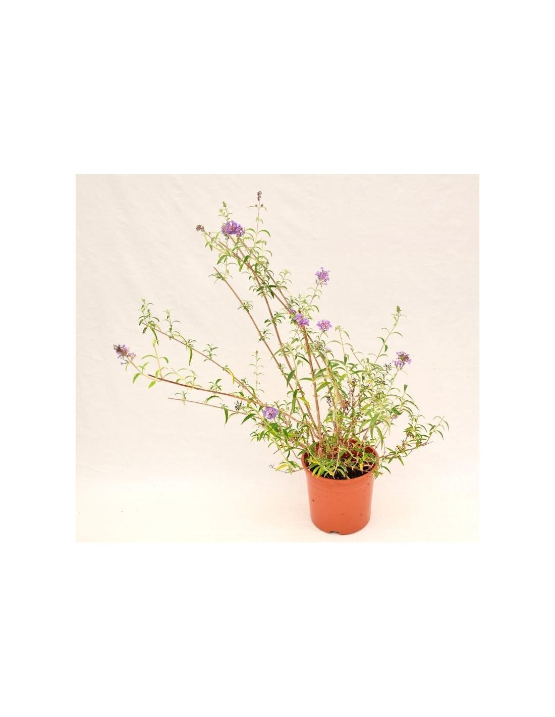 Albero Di Lillà piante, semi e bulbi semi e bulbi 100 semi di albero lilla