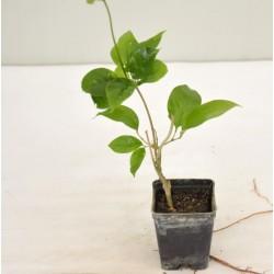 Bauhinia Plant Vase  7cm