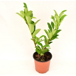 Cherry Laurel plant