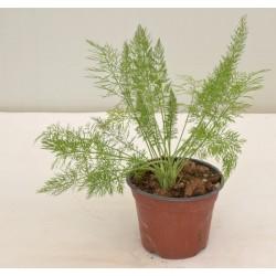 Wild Fennel Plant