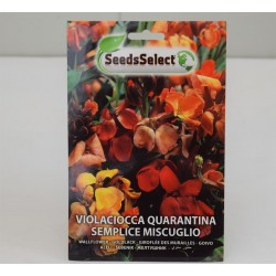 Violaciocca Seeds