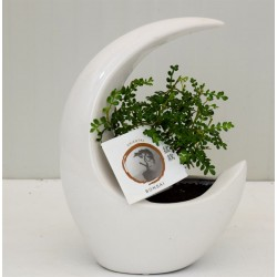 Bonsai 'Moonshape White...