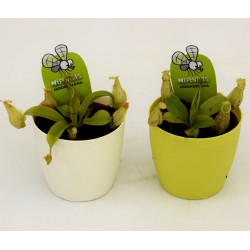 2x 'Nepenthes' Carnivorous...