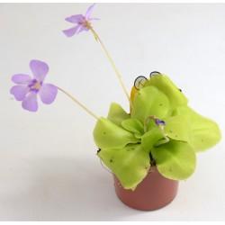 'Pinguicula' Carnivorous Plant