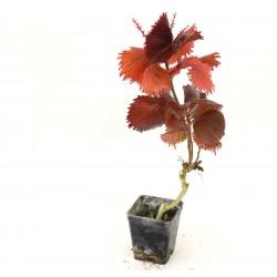 Acalypha Wilkesiana Plant