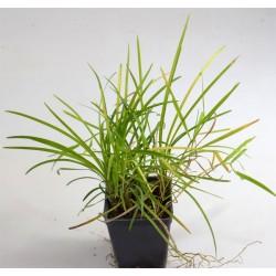 Pianta Convallaria Japonica...