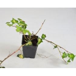 Gold ivy plant of Bogliasco...