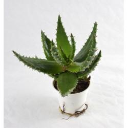 Aloe Marlothii Succulent Plant