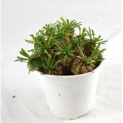 Pianta Grassa Euphorbia...