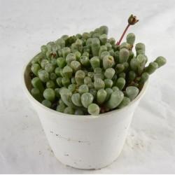 Fenestraria Succulent Plant
