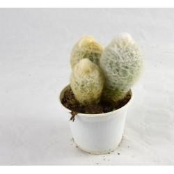 Espostoa Nana Succulent Plant