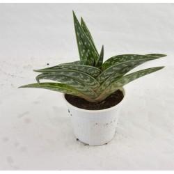 Pianta Grassa Aloe Variegata