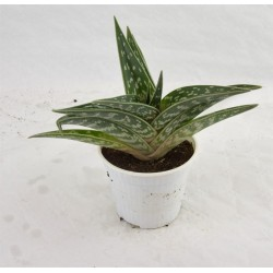 Variegated Aloe Succulent...