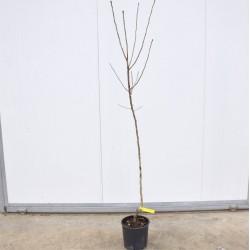 German Loquat Tree