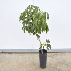 Litchi tree