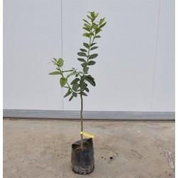 Sunrise Lime tree