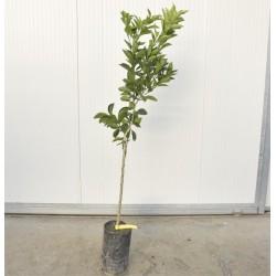 Mapo tree