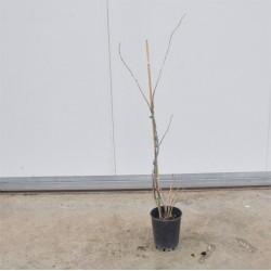 Pianta Ribes Rosso