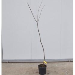 Dragon Blood Plum Tree
