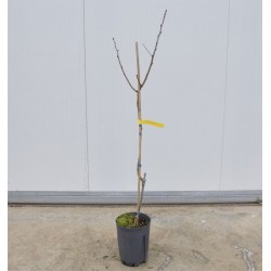 Pistachio Tree 2 Years
