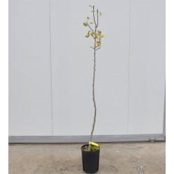 Pero Conference Tree
