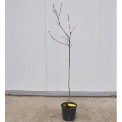 Tree Peach  Spring Crest