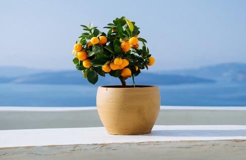 Citrus trees | Mondo Piante