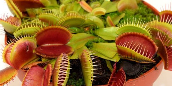 Carnivorous Plants: variety, characteristics and cultivation